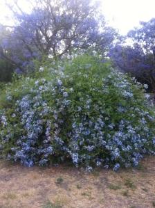 Mis flores azules
